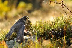 Peregrine Falcon sitting on the ground Stock Photos
