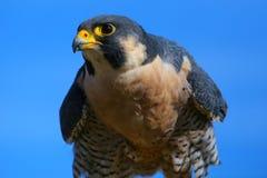 Free Peregrine Falcon Sitting On A Stick Stock Photos - 45890653
