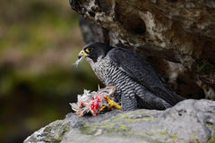 Peregrine Falcon sitting in the rock with catch bird, food on the stone. Peregrine Falcon sitting in the rock with catch bird Royalty Free Stock Photo