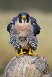 Peregrine falcon sitting on a rock Royalty Free Stock Photography