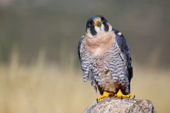 Peregrine falcon sitting on a rock Royalty Free Stock Photo