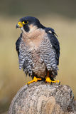 Peregrine falcon sitting on a rock Stock Photo