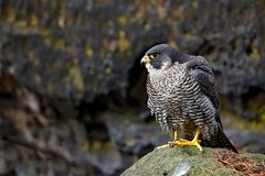 Peregrine Falcon sitting in the rock with, Rare bird in the nature habitat. Falcon in the Czech mountain Ceske Svycarsko National. Park Royalty Free Stock Image