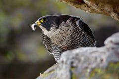 Peregrine Falcon sitting in rock. Rare bird in nature habitat. Falcon in the Czech mountain Ceske Svycarsko National Park. Bird of. Prey sitting on rocky ledge Stock Images