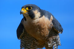 Peregrine falcon sitting on a stick Stock Photos