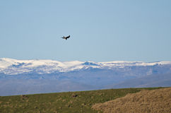 Peregrine Falcon And Snow Covered Mountains Stock Images