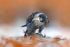 Peregrine Falcon som sitter i snö med orange sidor och den fångade fågeln Djurlivplats från naturen Fågeluppförande i den kalla v royaltyfri fotografi