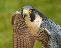 Peregrine Falcon spread wings Stock Photo