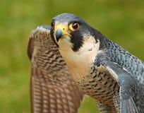Peregrine Falcon spread wings stock photo