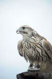 Peregrine Falcon Royalty Free Stock Photo