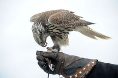 Peregrine Falcon. Standing on caretakers glove stock photography