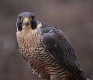 Peregrine Falcon Stare images libres de droits