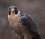 Peregrine Falcon Stare Royalty Free Stock Images