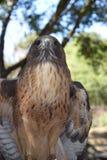Peregrine Falcon Straight Shot Lizenzfreies Stockbild