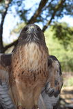 Peregrine Falcon Straight Shot. This peregrine falcon has its eyes set on a mouse 25 feet away. It is ready to take off for its morning meal. the background is royalty free stock image