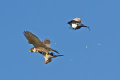 Peregrine falcon strikes Woodpigeon mobbed by Magpie Royalty Free Stock Photos