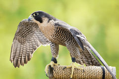 Peregrine Falcon. A Peregrine Falcon tethered to a perch. The largest falcon over most of the North American continent, with long, pointed wings and a long tail Stock Photos