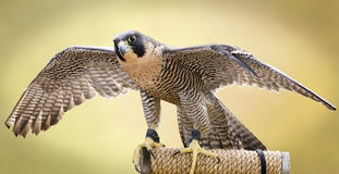 Peregrine Falcon. A Peregrine Falcon tethered to a perch. The largest falcon over most of the North American continent, with long, pointed wings and a long tail Stock Image