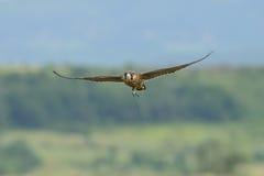 Peregrine Falcon tijdens de vlucht Stock Foto