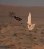 Peregrine Falcon Training Stock Fotografie