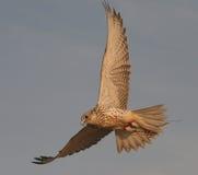Peregrine Falcon Training Photo stock