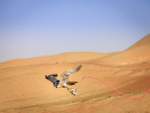 Peregrine Falcon training Royalty Free Stock Photography