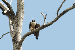 Peregrine Falcon in Tree Royalty Free Stock Image