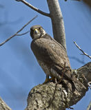 Peregrine Falcon on Tree Branch Stock Image