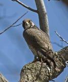 Peregrine Falcon on Tree Branch Stock Image