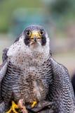Peregrine Falcon u. x28; Falco-peregrinus& x29; lizenzfreie stockbilder