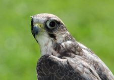 Peregrine falcon with very attentive gaze. Wild peregrine falcon with very attentive gaze Stock Photo