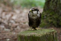 Peregrine Falcon Waiting Fotografering för Bildbyråer