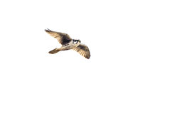 Peregrine Falcon on White Background Royalty Free Stock Images