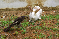Peregrine falcon and white rabbit Stock Photos