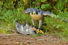 Free Peregrine Falcon With Its Prey Stock Photography - 8822212