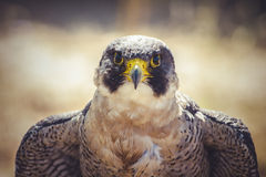Peregrine Falcon With Open Wings , Bird Of High Speed Stock Photo
