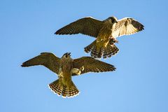 Peregrine falcons in flight in the wild, wales, uk royalty free stock photo