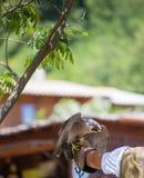 Peregrine falk - hökperegrinus royaltyfria foton