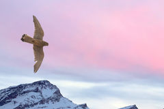 Peregrine falk som flyger över snöbergbakgrund Fotografering för Bildbyråer