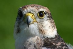 Peregrine Hawk Royalty Free Stock Photo