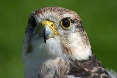 Peregrine Hawk Royalty Free Stock Photo