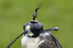 Peregrine and lanner hybrid falcon. With hood stock photography