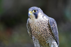 Peregrine Stock Photos