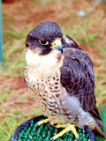 Peregrine Saker Falcon. Stock Photography
