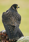 Peregrine Valk (Falco peregrinus) Royalty-vrije Stock Afbeeldingen