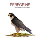 Peregrine Stock Photos