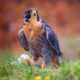 Peregrine vogel Royalty-vrije Stock Foto's