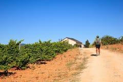 Peregrino al lado del viñedo a lo largo del camino de San Jaime Fotos de archivo