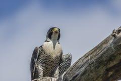 Peregrino (peregrinus de Falco) Fotografía de archivo