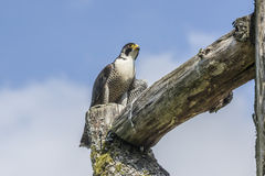 Peregrino (peregrinus de Falco) Imágenes de archivo libres de regalías